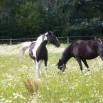 pferde-4