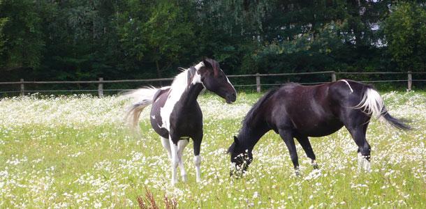 Pferde Juris